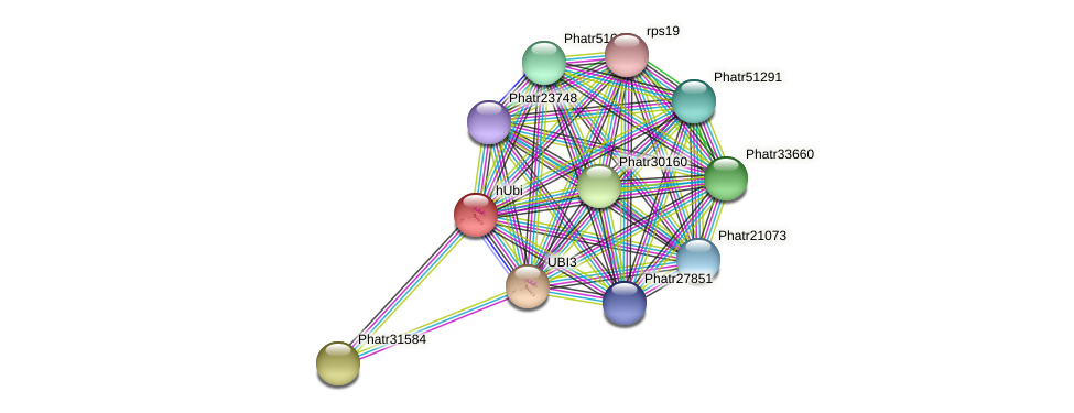 hUbi protein (Phaeodactylum tricornutum) - STRING interaction network