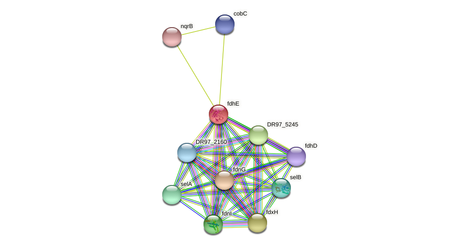 fdhE protein (Pseudomonas aeruginosa) - STRING interaction network