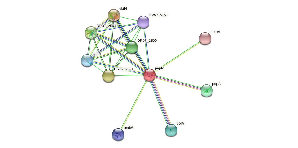 pepP protein (Pseudomonas aeruginosa) - STRING interaction network