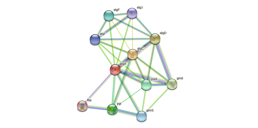 algA1 protein (Pseudomonas aeruginosa) - STRING interaction network