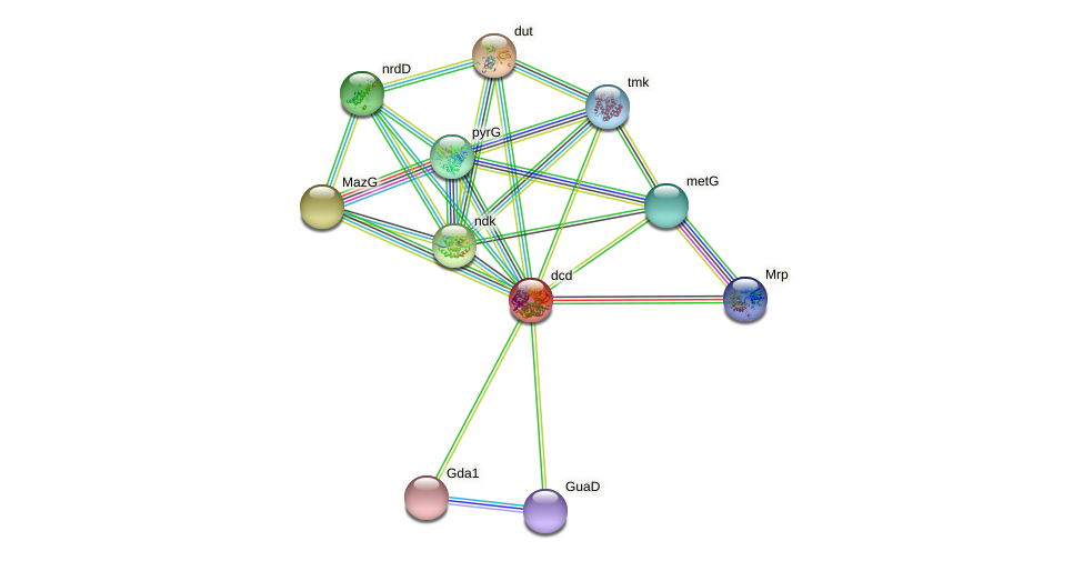 dcd protein (Pseudomonas aeruginosa) - STRING interaction network