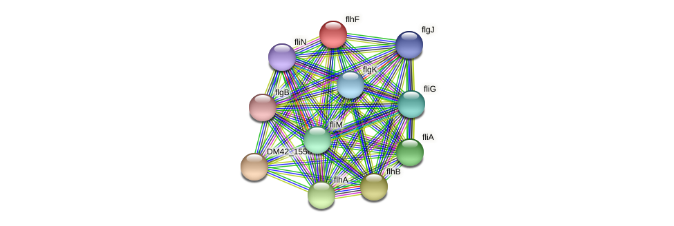 flhF protein (Burkholderia cepacia) - STRING interaction network