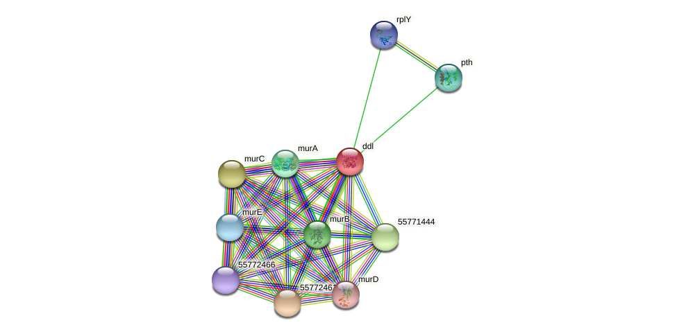 ddl protein (Thermus thermophilus HB8) - STRING interaction network