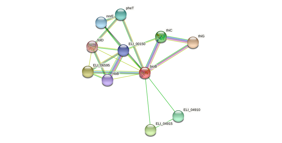 bioB protein (Erythrobacter litoralis) - STRING interaction network