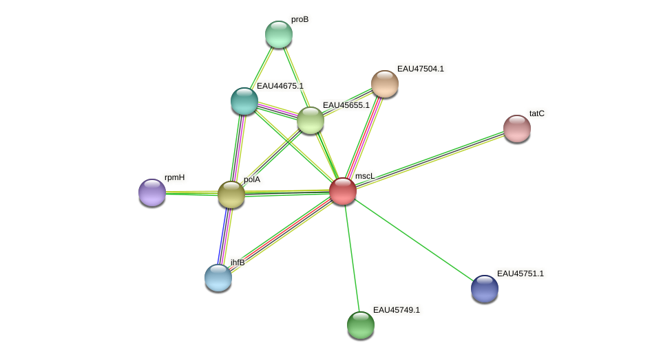 mscL protein (Pelagibaca bermudensis) - STRING interaction network