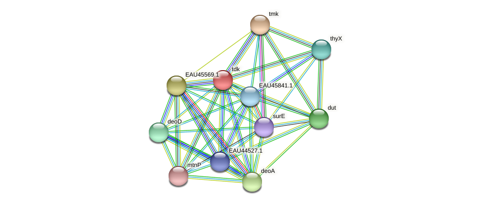 tdk protein (Pelagibaca bermudensis) - STRING interaction network