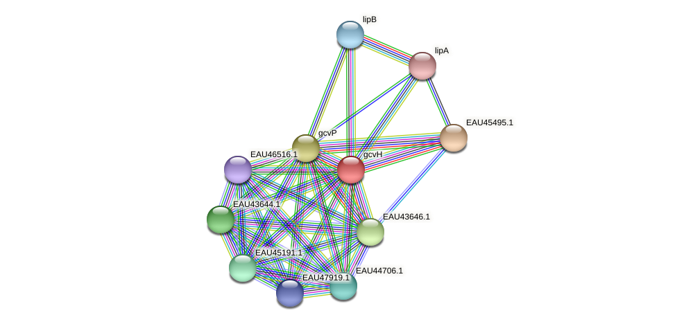 gcvH protein (Pelagibaca bermudensis) - STRING interaction network