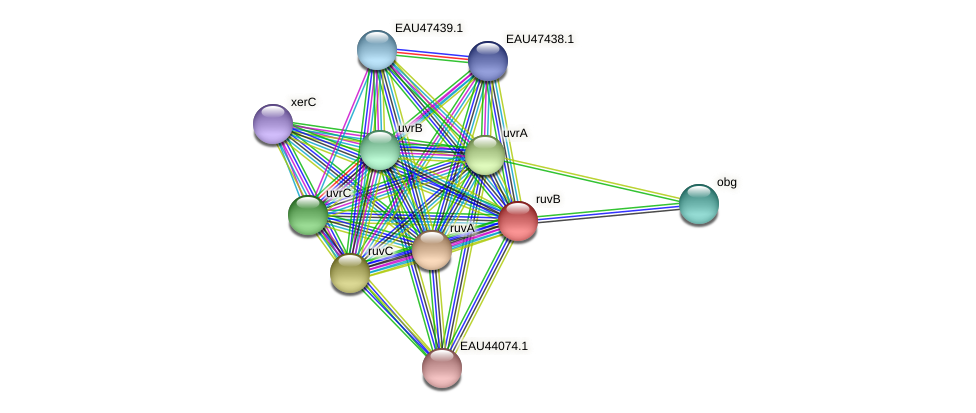 ruvB protein (Pelagibaca bermudensis) - STRING interaction network