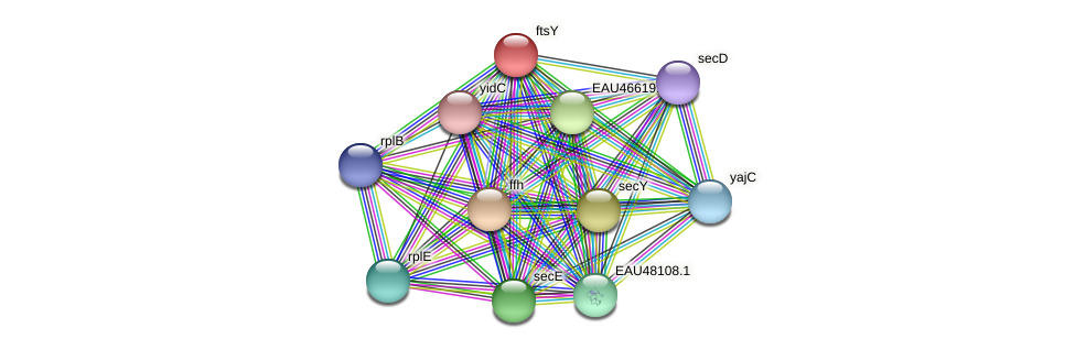 ftsY protein (Pelagibaca bermudensis) - STRING interaction network