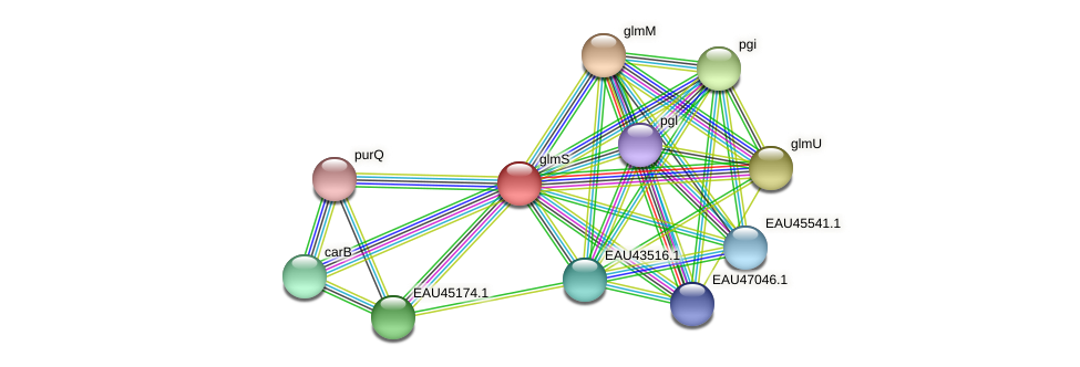 glmS protein (Pelagibaca bermudensis) - STRING interaction network