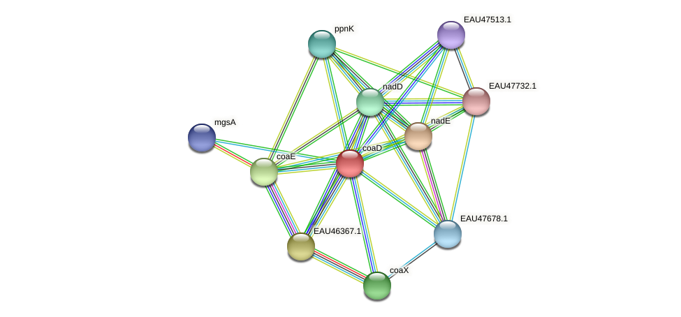 coaD protein (Pelagibaca bermudensis) - STRING interaction network