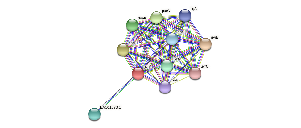 gyrA protein (Maritimibacter alkaliphilus) - STRING interaction network