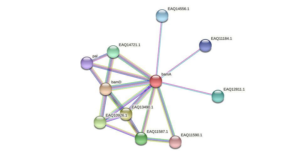 bamA protein (Maritimibacter alkaliphilus) - STRING interaction network