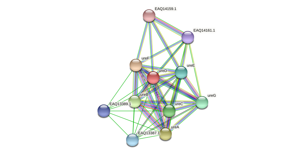 ureD protein (Maritimibacter alkaliphilus) - STRING interaction network