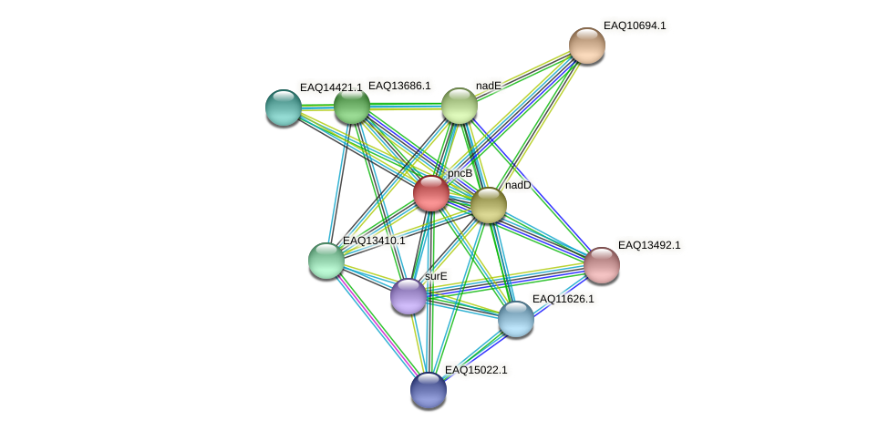 pncB protein (Maritimibacter alkaliphilus) - STRING interaction network