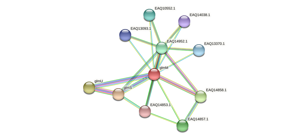 glmM protein (Maritimibacter alkaliphilus) - STRING interaction network
