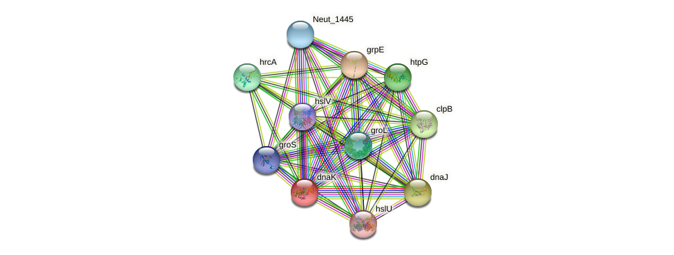 dnaK protein (Nitrosomonas eutropha) - STRING interaction network