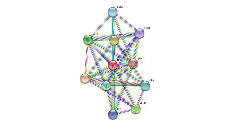 ftsH protein (Xanthomonas campestris campestris) - STRING interaction network