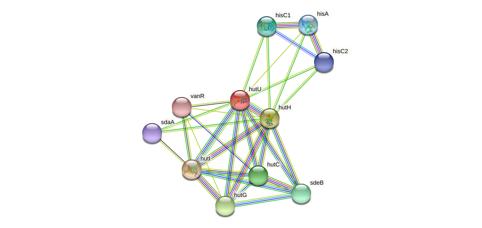 hutU protein (Xanthomonas campestris campestris) - STRING interaction network