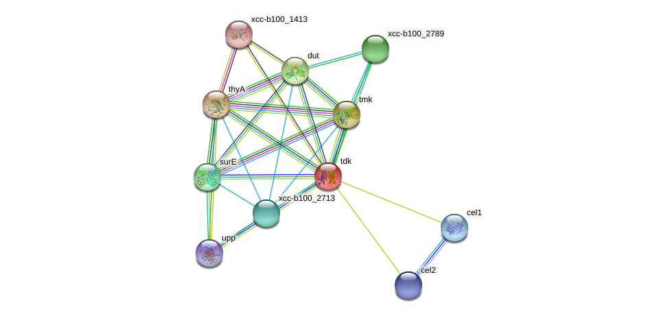 tdk protein (Xanthomonas campestris campestris) - STRING interaction network
