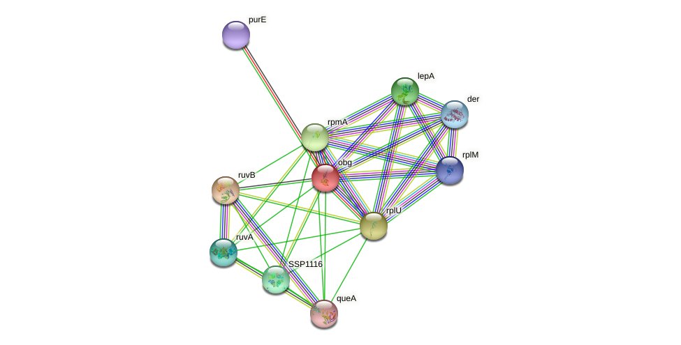 obg protein (Staphylococcus saprophyticus) - STRING interaction network