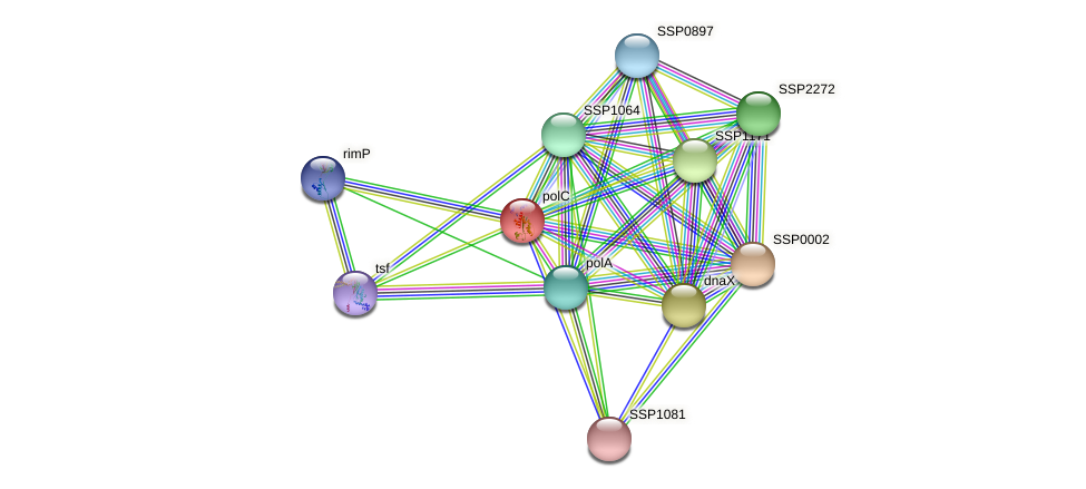 polC protein (Staphylococcus saprophyticus) - STRING interaction network