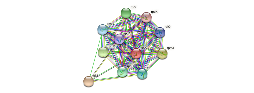 rpsG protein (Agrobacterium rhizogenes) - STRING interaction network