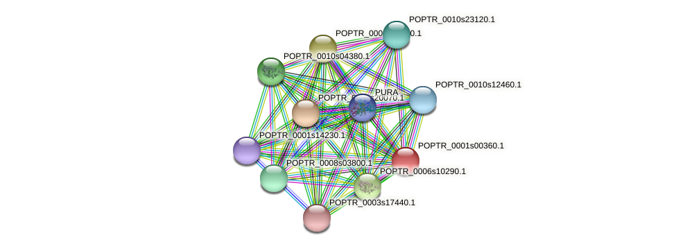 POPTR_0001s00360.1 protein (Populus trichocarpa) - STRING interaction network