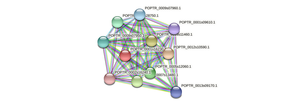POPTR_0001s16230.1 protein (Populus trichocarpa) - STRING interaction network