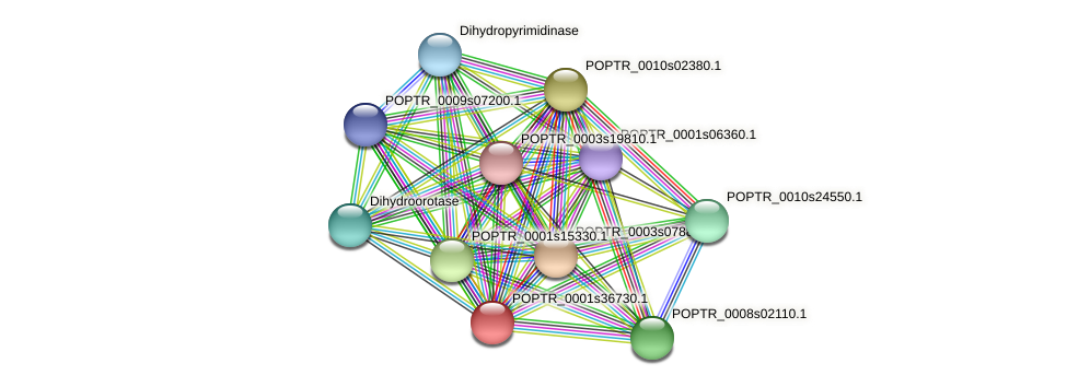 POPTR_0001s36730.1 protein (Populus trichocarpa) - STRING interaction network