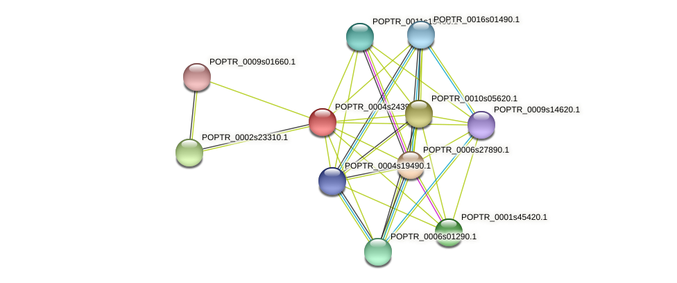 POPTR_0004s24390.1 protein (Populus trichocarpa) - STRING interaction network