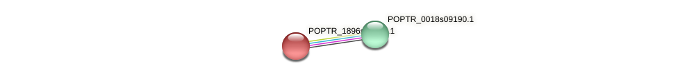 POPTR_1896s00210.1 protein (Populus trichocarpa) - STRING interaction network