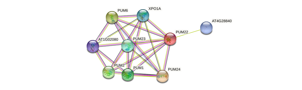 PUM22 protein (Arabidopsis thaliana) - STRING interaction network