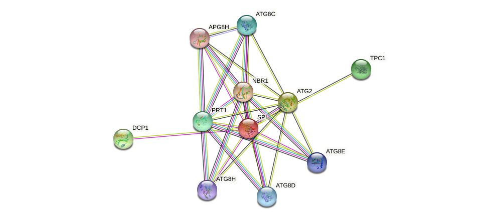 SPI protein (Arabidopsis thaliana) - STRING interaction network