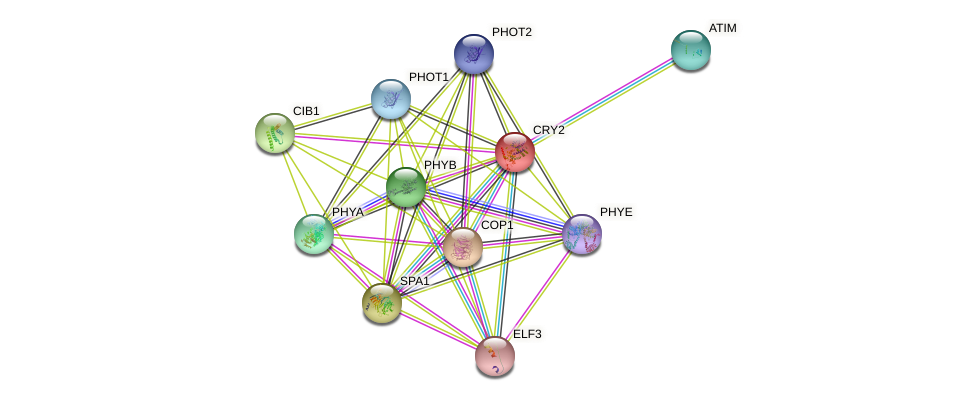 CRY2 protein (Arabidopsis thaliana) - STRING interaction network