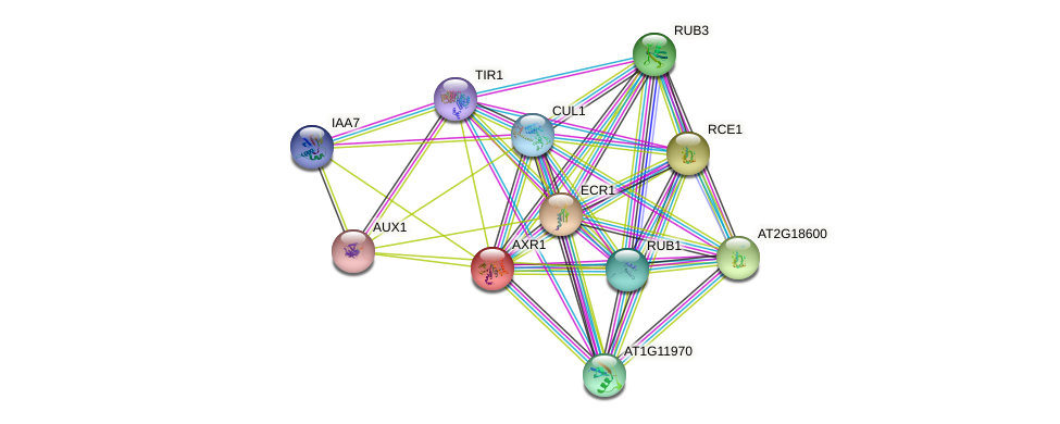 AXR1 protein (Arabidopsis thaliana) - STRING interaction network