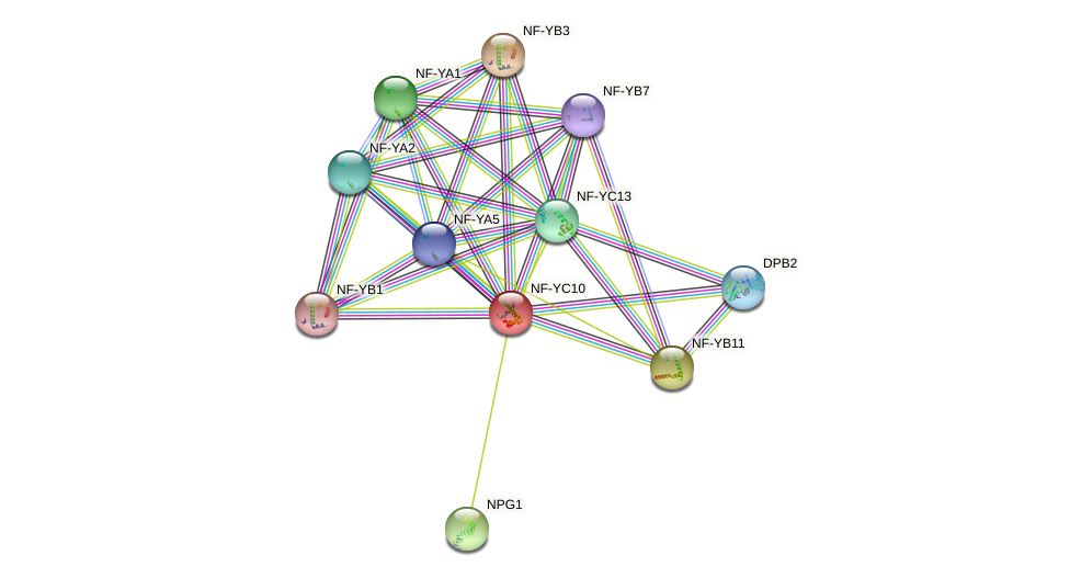 NF-YC10 protein (Arabidopsis thaliana) - STRING interaction network