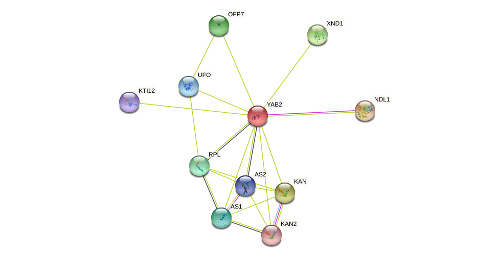 YAB2 protein (Arabidopsis thaliana) - STRING interaction network
