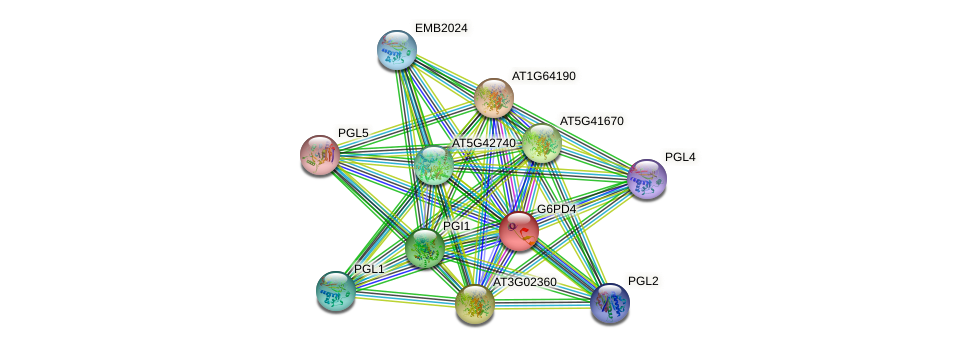 G6PD4 protein (Arabidopsis thaliana) - STRING interaction network