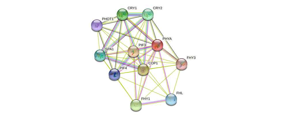 PHYA protein (Arabidopsis thaliana) - STRING interaction network