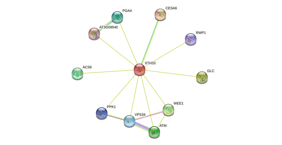 XTH33 protein (Arabidopsis thaliana) - STRING interaction network