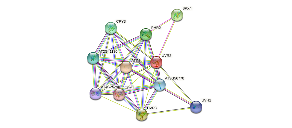 UVR2 protein (Arabidopsis thaliana) - STRING interaction network