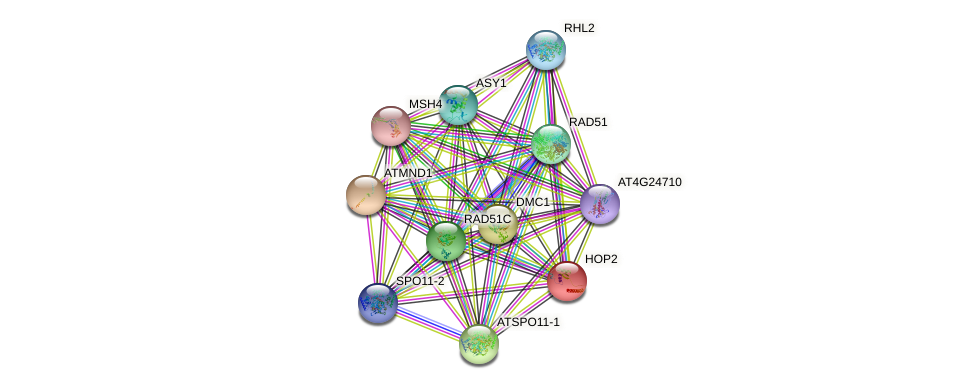 HOP2 protein (Arabidopsis thaliana) - STRING interaction network