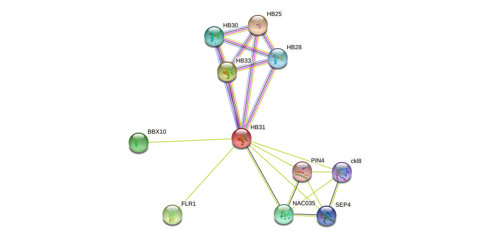 HB31 protein (Arabidopsis thaliana) - STRING interaction network