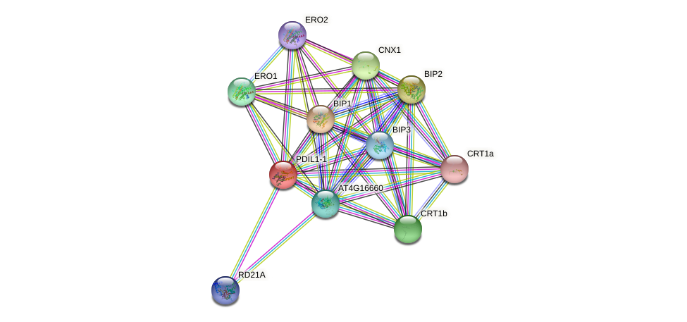 PDIL1-1 protein (Arabidopsis thaliana) - STRING interaction network