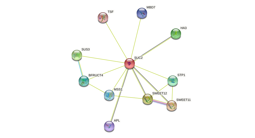SUC2 protein (Arabidopsis thaliana) - STRING interaction network