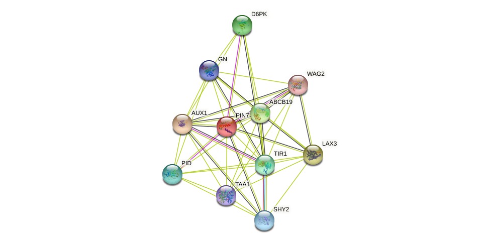 PIN7 protein (Arabidopsis thaliana) - STRING interaction network