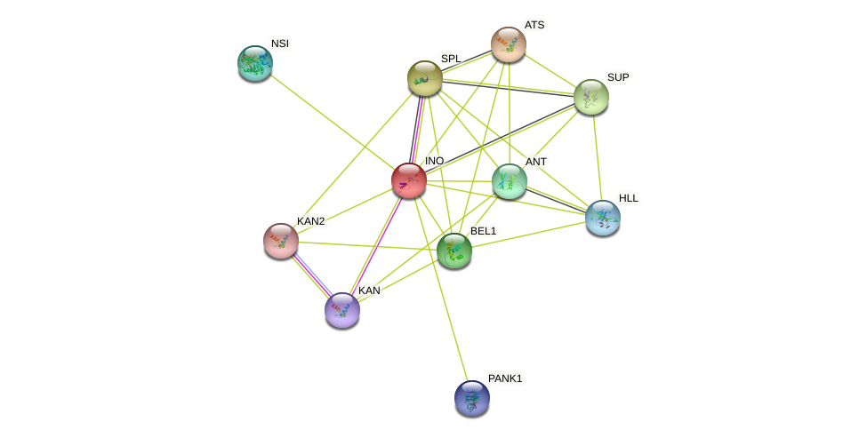 INO protein (Arabidopsis thaliana) - STRING interaction network