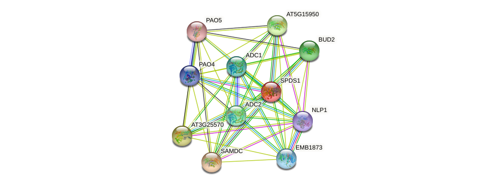 SPDS1 protein (Arabidopsis thaliana) - STRING interaction network