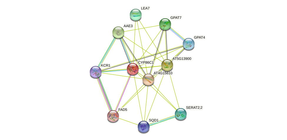 CYP86C1 protein (Arabidopsis thaliana) - STRING interaction network